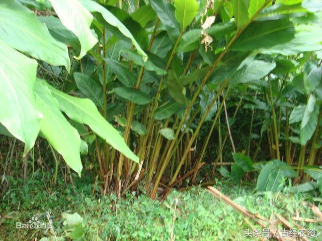 草果图片,药食两用的草果如何种植?