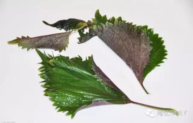 紫苏叶泡水喝的吃法,紫苏叶生姜茶疏风散寒,理气强胃