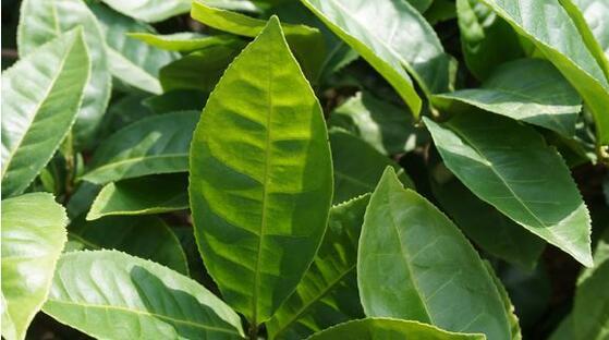 茶树品种,中国茶树树种大汇总(下)
