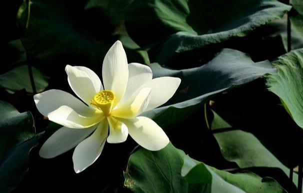 艳的诗,每日一诗013:荷花艳——荷花嫩鲜蕊吐艳,秀美让人回头转……