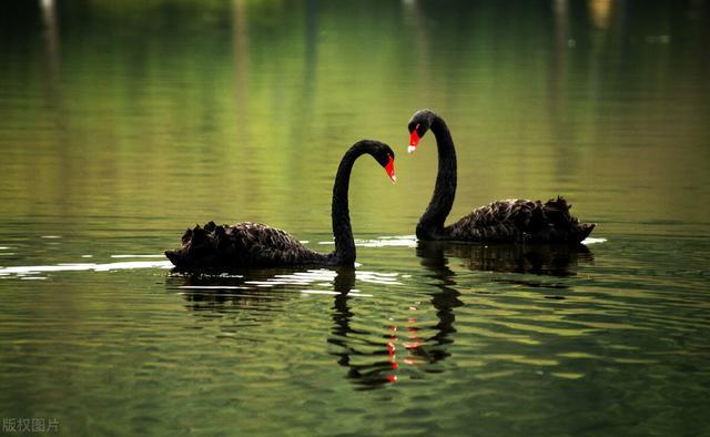 黑天鹅的寓意,黑天鹅:如何应对不可预知的未来