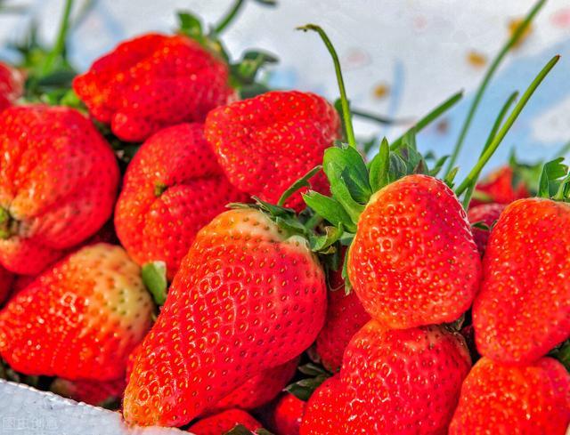 怎么做草莓,养根促生长,草莓产量高!怎么做?3套解决方案+2个养根技巧