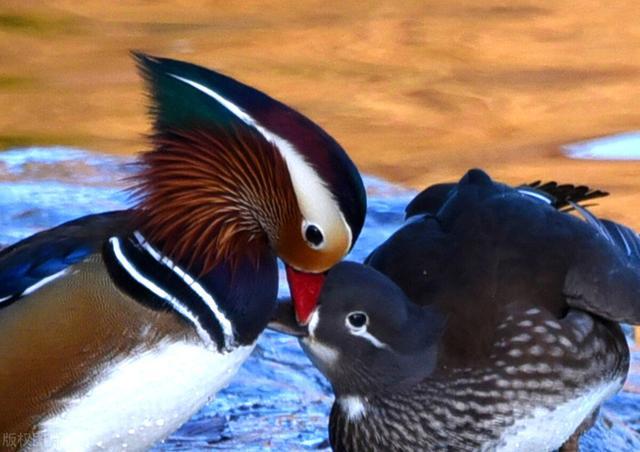鸳鸯图片,北京玉渊潭湖畔,众多鸳鸯在此戏水缠绵,萌态十足