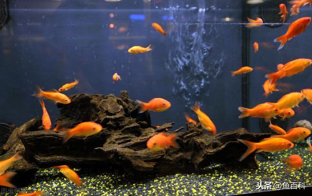 金鱼品种,金鱼的4大品种介绍!还分不清金鱼的种类?看这1篇就够了