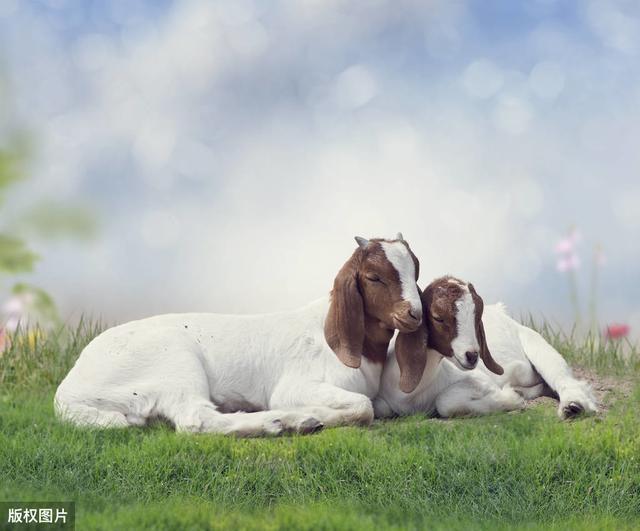 绵羊品种,很有前景的三种羊,90%以上的羊友都养这个