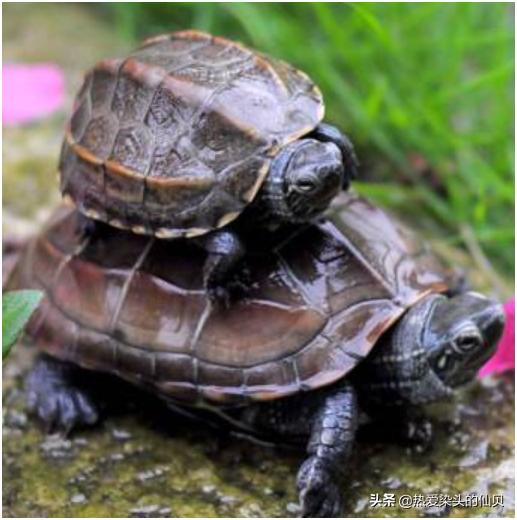 养龟为什么不能养双,两只公龟能在一起养吗?在龟身上看得到雄性动物好斗的影子