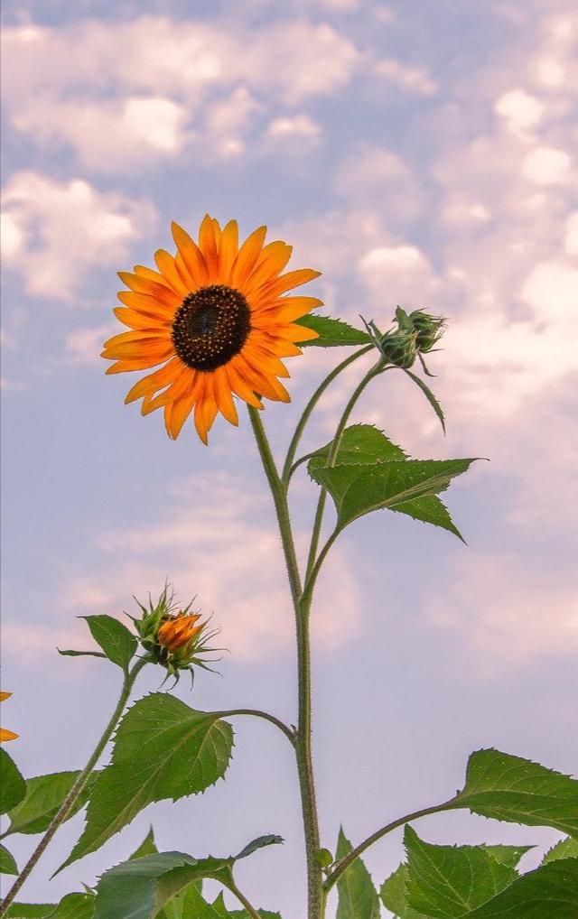 向日葵的特征,向日葵之所以幸福,是因为时刻都微笑着面对阳光