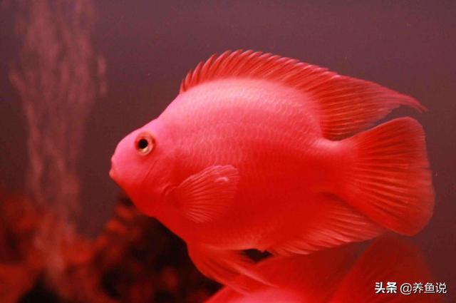 鹦鹉鱼图片,鹦鹉鱼养着褪色啥情况?水族市场这秘密你知道吗,请多个心眼