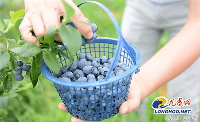 蓝莓 品种,蓝莓长得都一样?龙虎网独家解密溧水白马五大蓝莓品种
