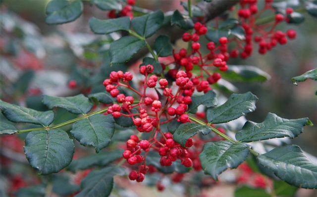 嫁接品种,花椒树嫁接:花椒树可以和哪些树木嫁接?