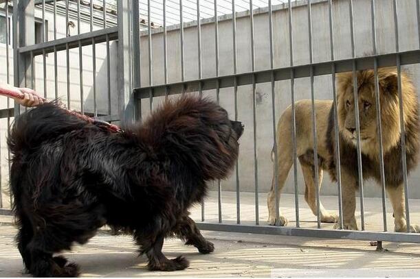 斗狗品种,攻击性最强的8种狗狗:中国犬上榜