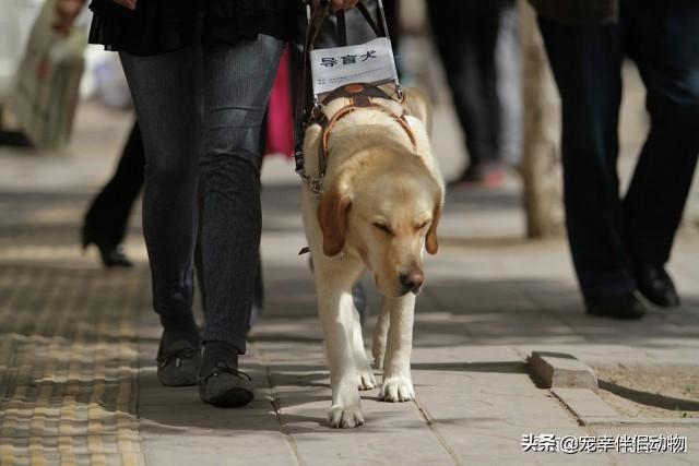 导盲犬品种,不是所有的狗狗都能做导盲犬,5大导盲犬种类介绍