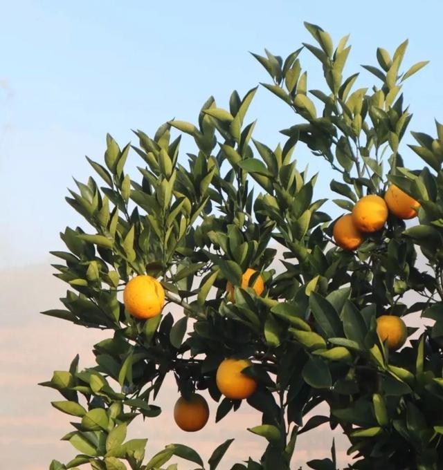 你认为褚橙热卖的原因是什么?