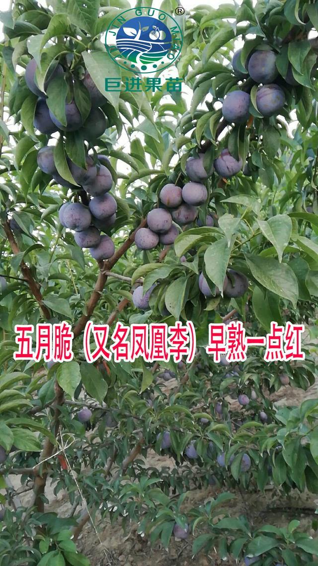 李子的品种,李子品种介绍、李子新品种大全