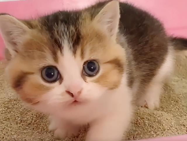 金漸層禍禍了布偶貓,這是生了一窩啥?不像爸也不像媽 家有萌寵 第5张