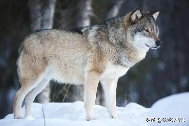 狼的成语,【原创】科学解梦,带你了解梦的意义