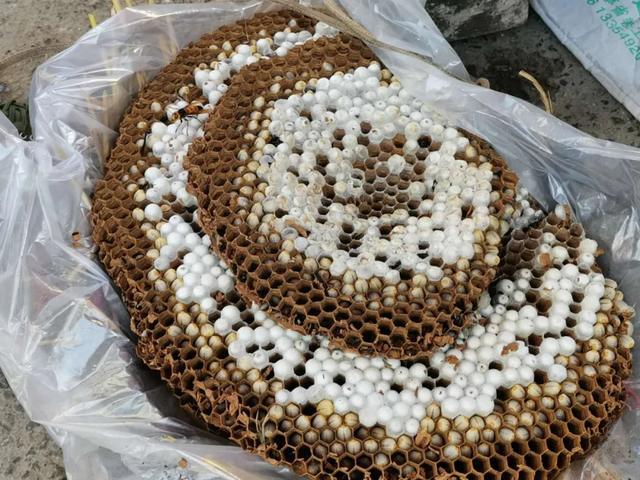 蜂虫的吃法,这种美味又上市啦!墨江蜂蛹等你来尝鲜