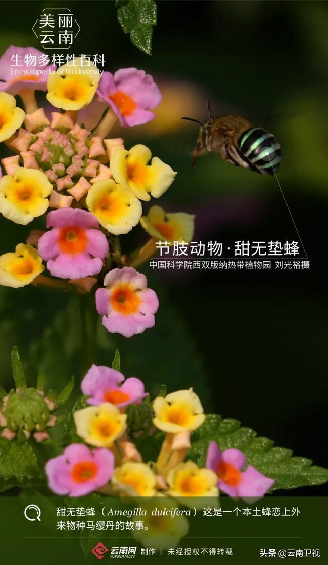 【生物多样性百科】节肢动物·甜无垫蜂:为植物传宗接代也就是几秒钟的事