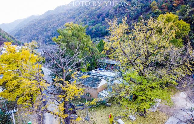 银杏叶寓意,洛阳大山中,数十棵千年银杏围着一古寺遗址,美成童话不逊腾冲