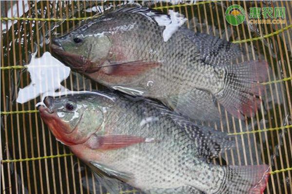 罗非鱼怎么做,目前爆火的罗非鱼价格多少钱一斤?是不是很脏?你敢吃吗?