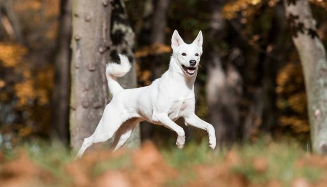 稀有品种,14种最稀有的犬种