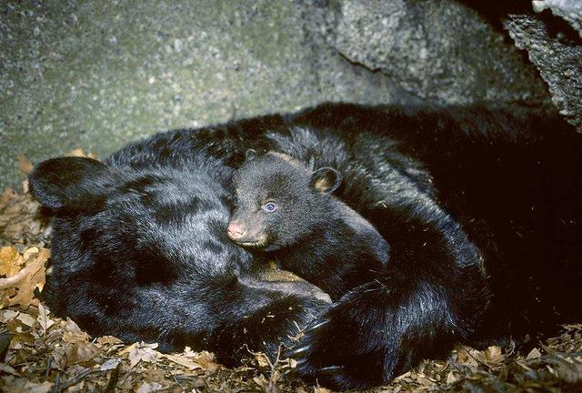 冬眠的动物有哪些,冬眠的熊会被食肉动物吃掉吗?专家:老虎会威胁冬眠熊的生存