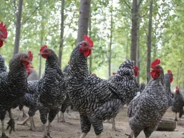 鸡品种大全,中国各省的特色土鸡,有你认识的吗?