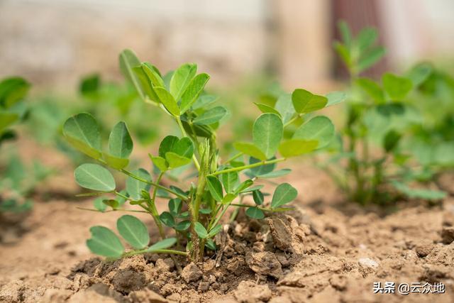 花生的简介,花生栽培技术不难,但要高产不容易,花生高产种植要做好点管理