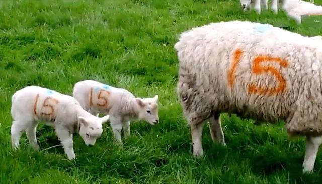 羊图片,小羊跟在妈妈身后吃草,头上多了坨不明物体,看清后定在了原地