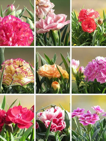 康乃馨图片,花店康乃馨太贵了,不如自己在家种,2个多月就能开花