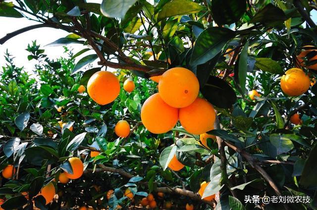 橘子品种,柑橘的品种多样,优点各异,那你知道柑橘家族的两大名媛吗?