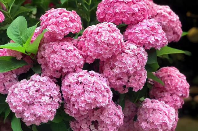 花有哪些花,这4种开花植物,花朵大过拳头,漂亮好养