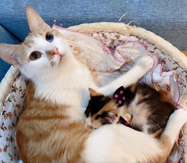 撿到一隻鴛鴦眼橘貓,貓很美,可一天後發現,我被它騙了 家有萌寵 第5张