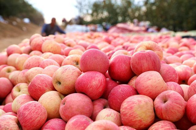 卓创情系苹果园,深层次林中看挂果