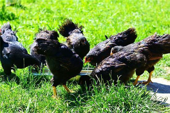 鸡内金的吃法,鸡杂之一要是吃对了,别说扔了,比虫草还要珍贵