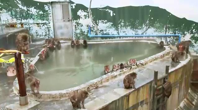 猴子图片,享受!日本北海道猴子泡温泉避寒 憨态可掬惹人爱(图)