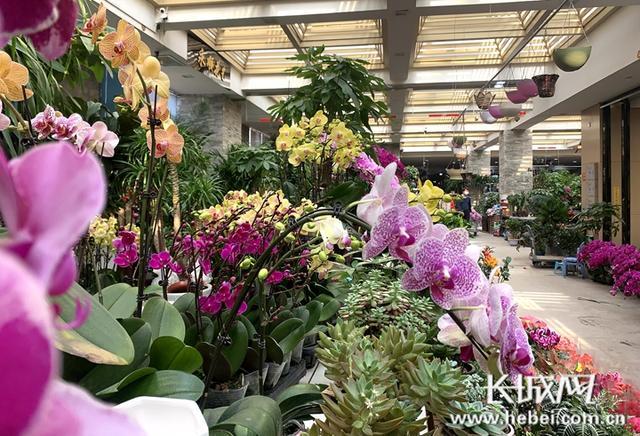 花卉市场,微视频 | 探访石家庄花卉市场:赏花买花年味儿浓