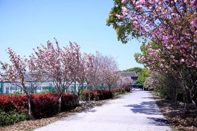 樱花图片,今年樱花季的最后一场花开:晚樱,你看了吗?