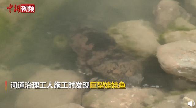 宁夏现1.35米巨型野生娃娃鱼,测算年龄在50岁以上!网友:盆小了… 全球新闻风头榜 第2张
