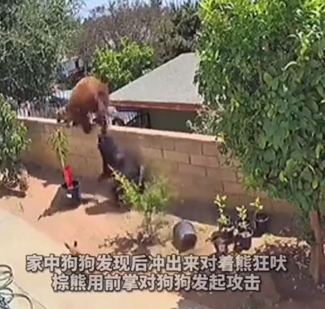 棕熊爬上围栏大战四家犬,美国女子一把将熊推下,网友:爱狗如命 全球新闻风头榜 第1张