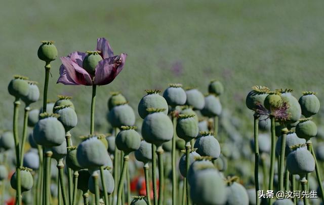 罂粟怎么读,《白鹿原》:白嘉轩种罂粟有历史依据,为什么要在陕西种鸦片?