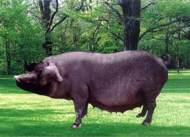 属猪梦见猪,准妈妈每晚梦见黑猪,坚信自己会生出儿子,医生:这种胎梦不太好