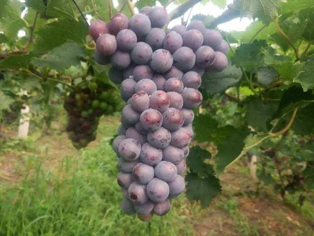 葡萄新品种,这些葡萄的新品种,种植简单品质好,你吃过吗