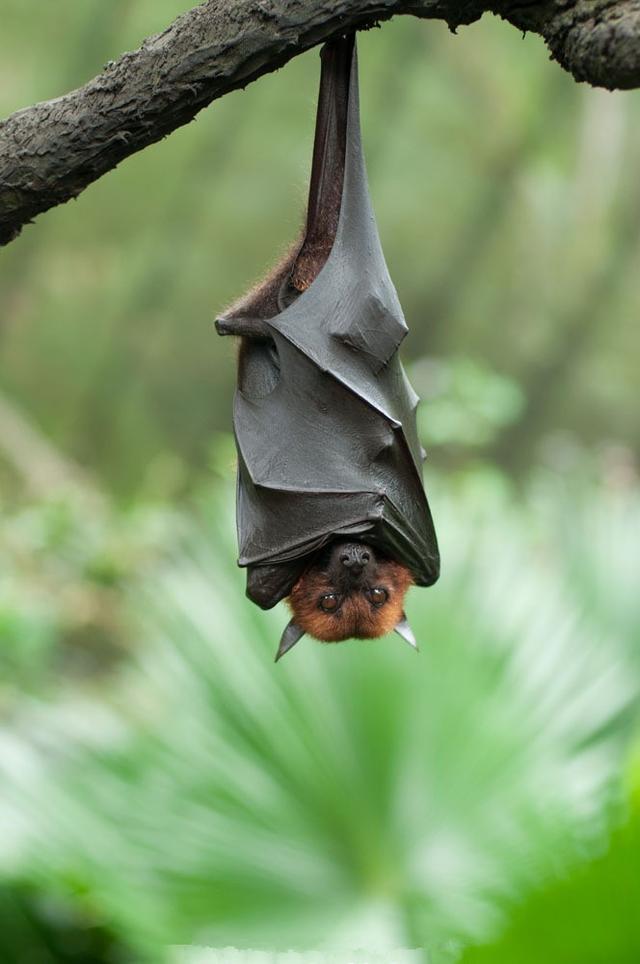 哺乳动物有哪些,会飞的哺乳动物不多,蝙蝠算其中一个,还有谁?