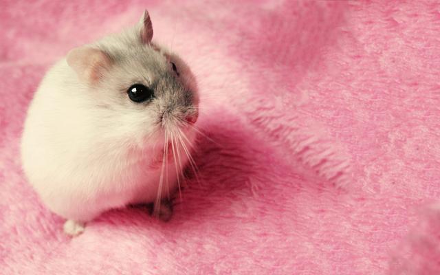 仓鼠图片,世界上最可爱的仓鼠,寿命只有两年,但是却是很理想的宠物