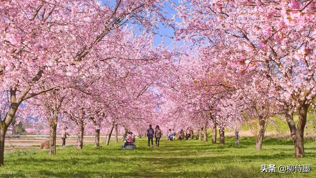 樱花图片,樱花开了要摄影,26张例图8个技巧,拍出文艺唯美的浪漫场景