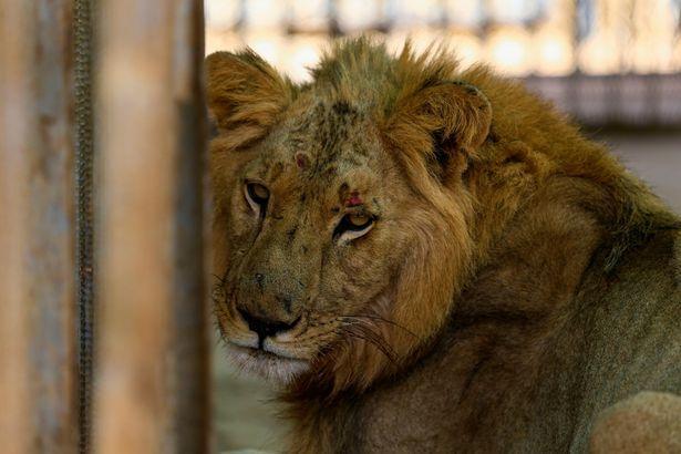 苏丹动物园难经营,员工自掏腰包,猛狮子仍瘦成皮包骨后饿死 全球新闻风头榜 第2张