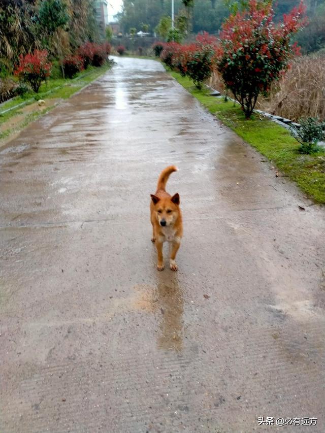 中华田园犬图片,你家的土狗到底是不是中华田园犬?
