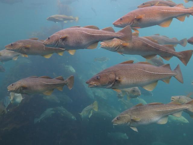 鳕鱼图片,其实放眼整个人类渔猎史,鳕鱼真是一个传奇……