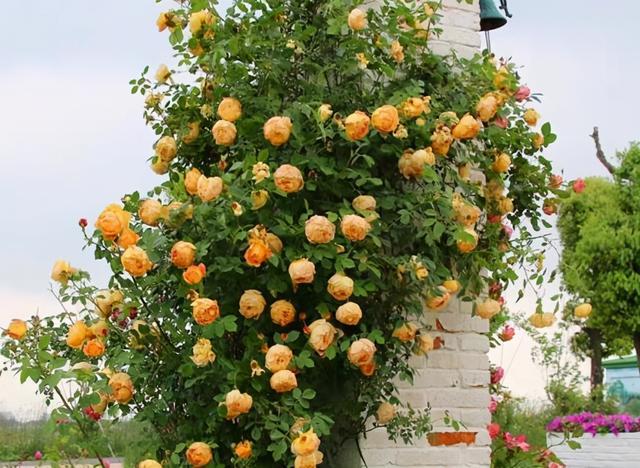 """品种月季,盘点十大勤花""""藤本月季"""",栽在院子里,开成花海超治愈"""